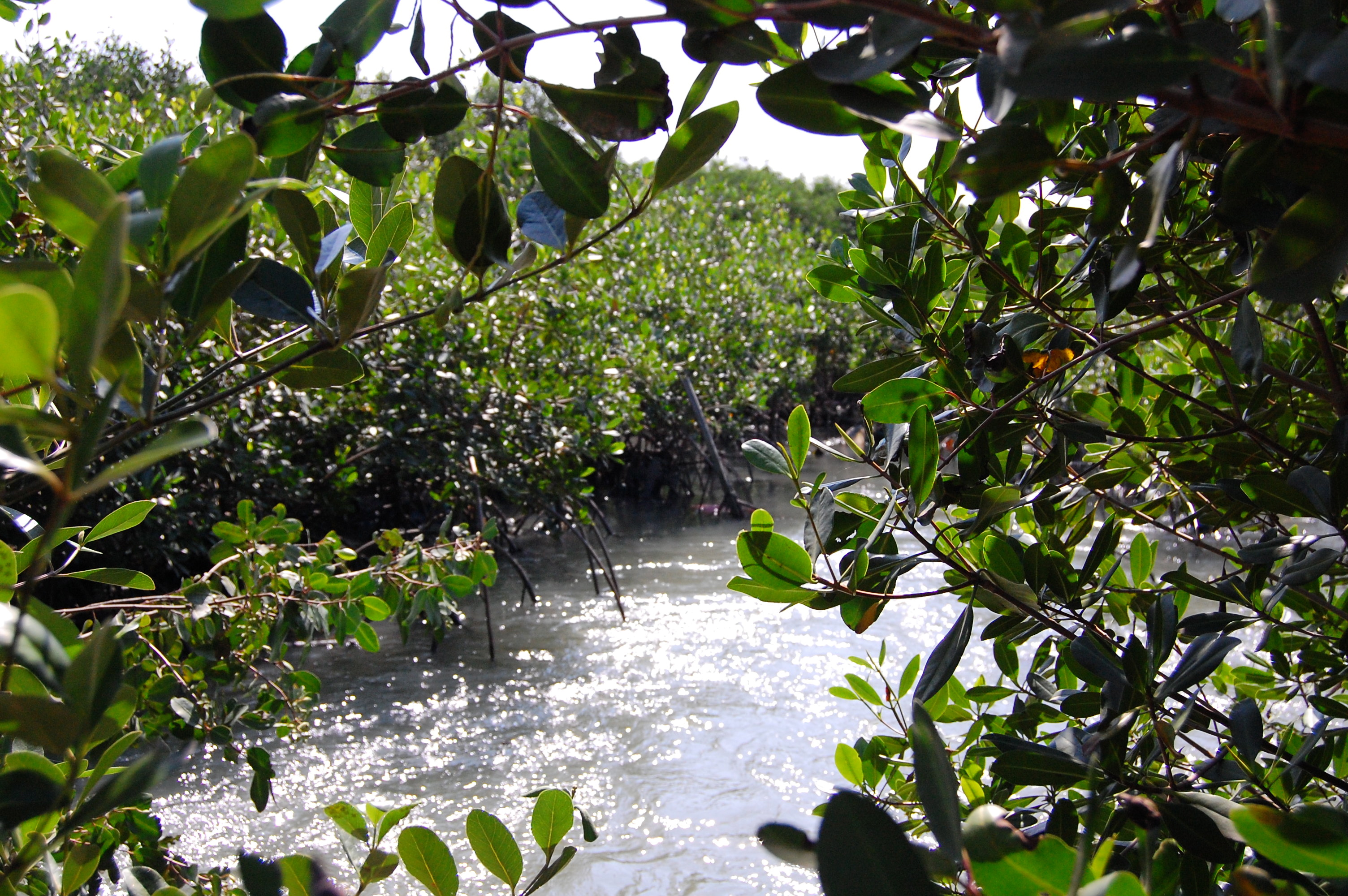 A relatively clean mangrove along the shores of Guanabara Bay