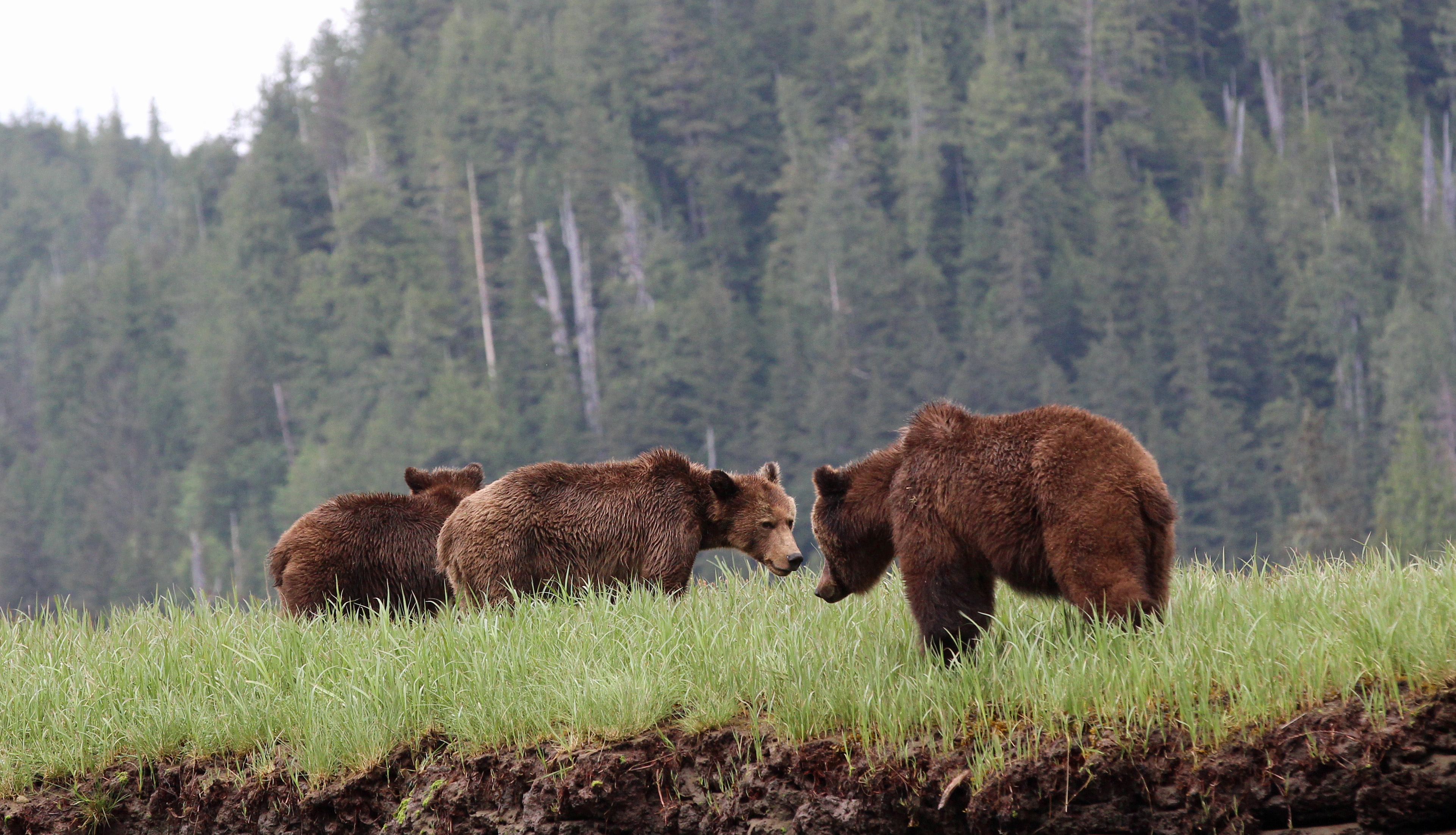 A female grizzly with her cubs on the Nekite River in the Great Bear Rainforest.