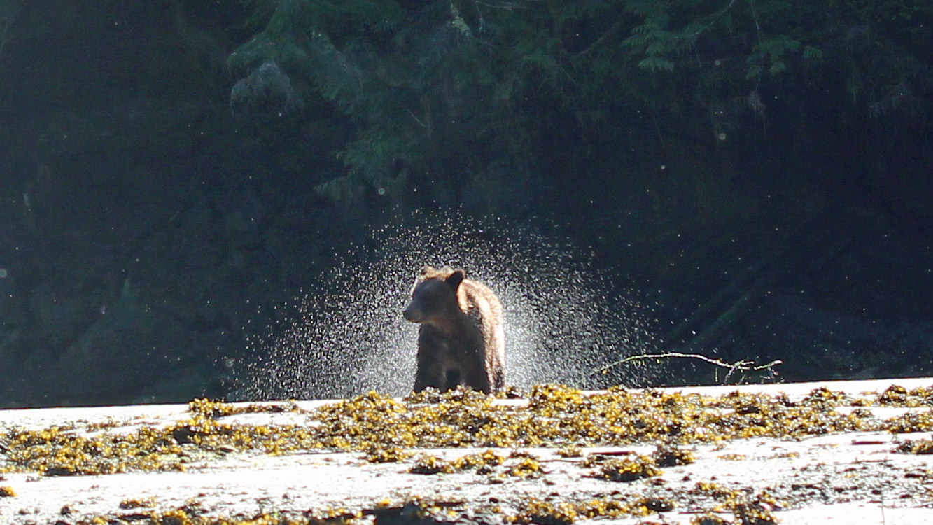 A grizzly cub on the shore of the Nekite River.