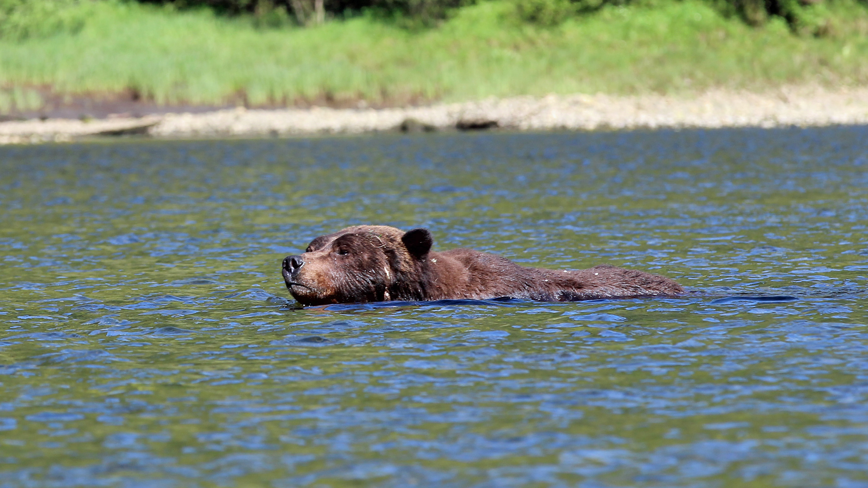 A grizzly local guides call Bo Diddley swimming across the estuary in pursuit of a female bear.