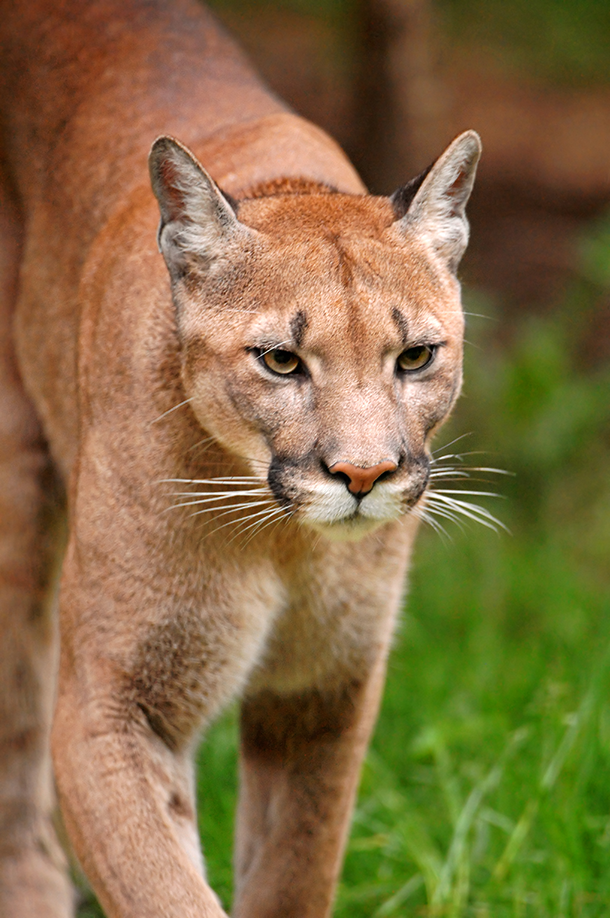 white mountain lake cougar women Wildlife officials say a cougar killed at west point lake over the weekend was likely held in  cougar man: living with a mountain lion.