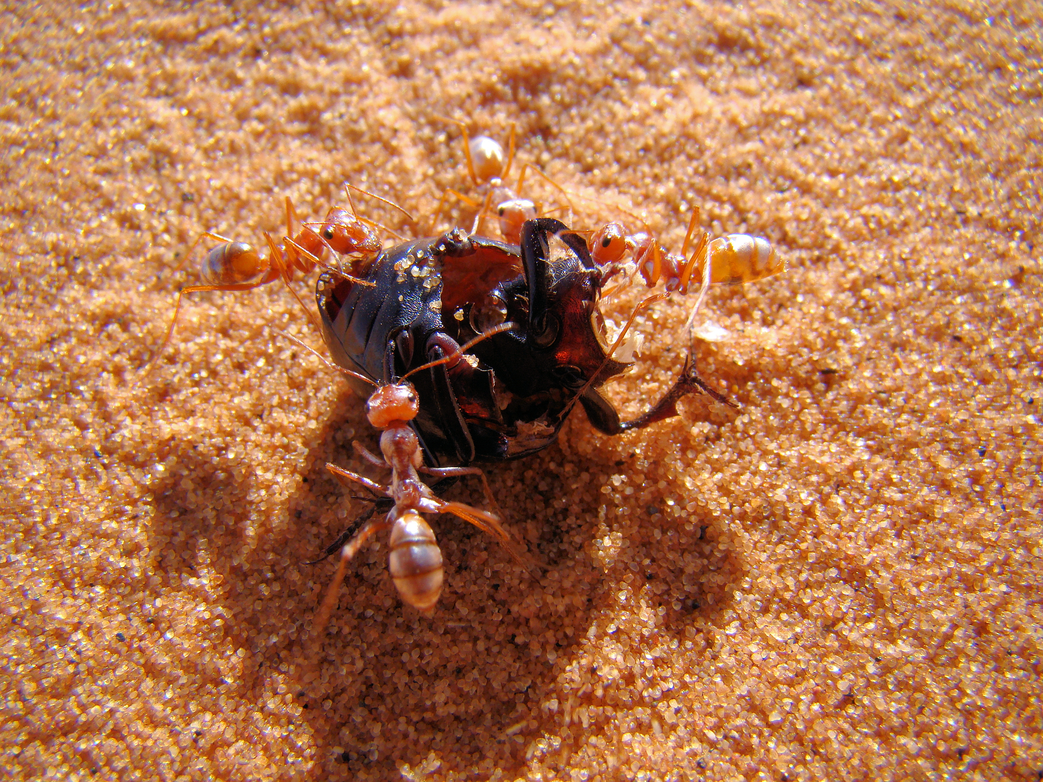 this rugged african ant prefers to scavenge when the sand is at