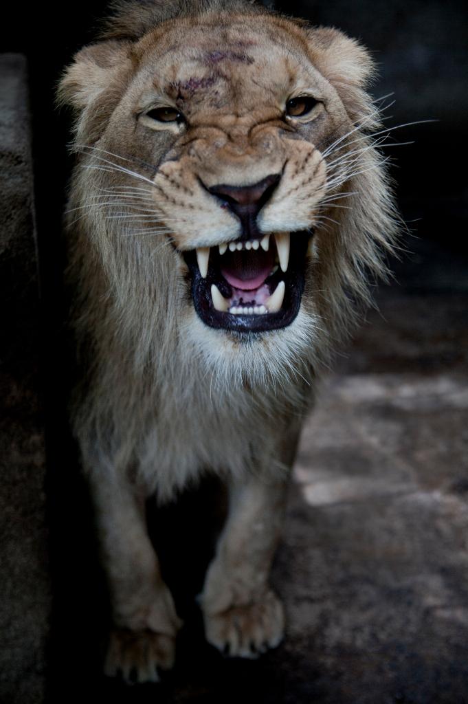 Лев для авы в вк