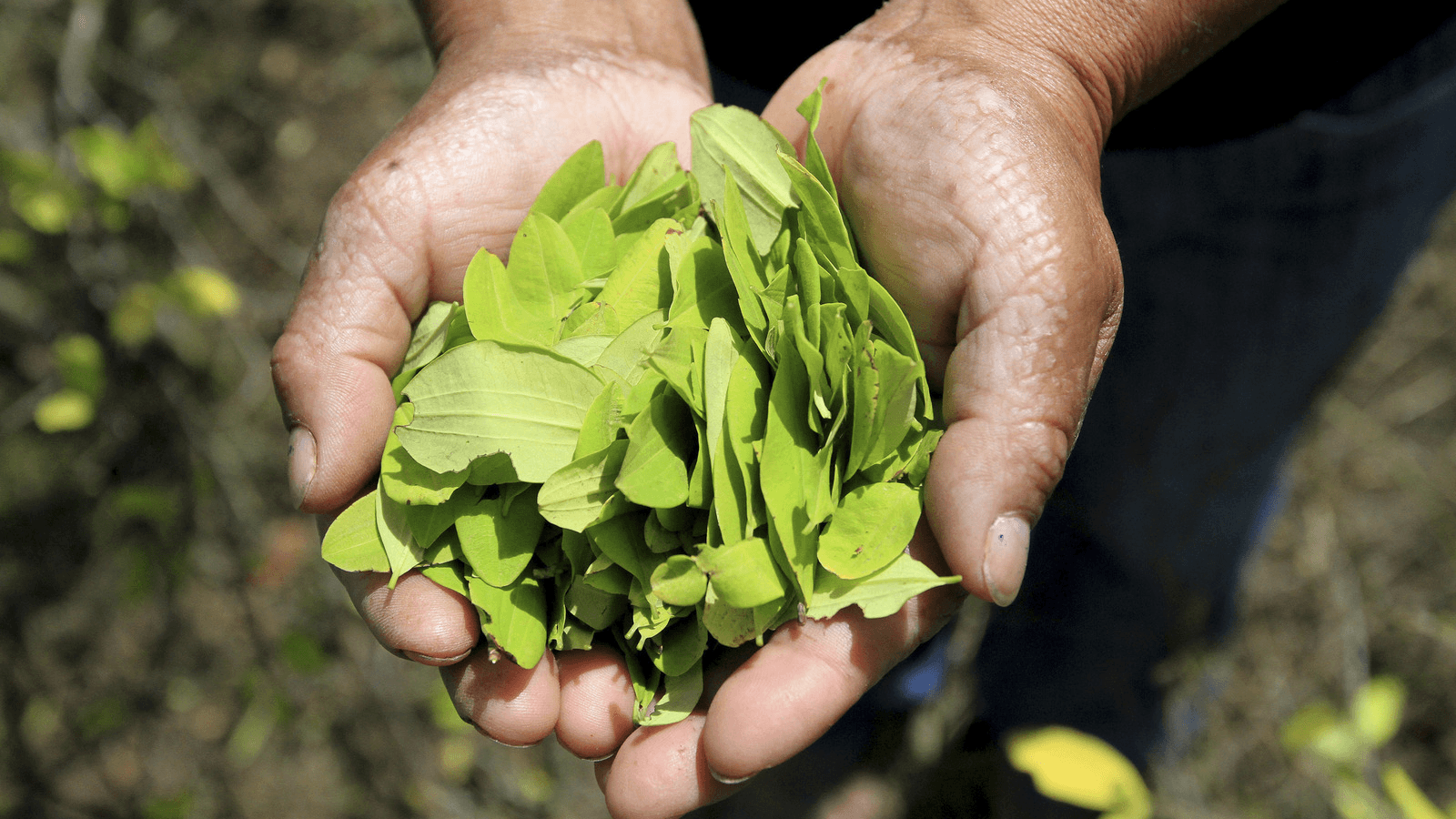 coca leaves in a man's hands in Colombia