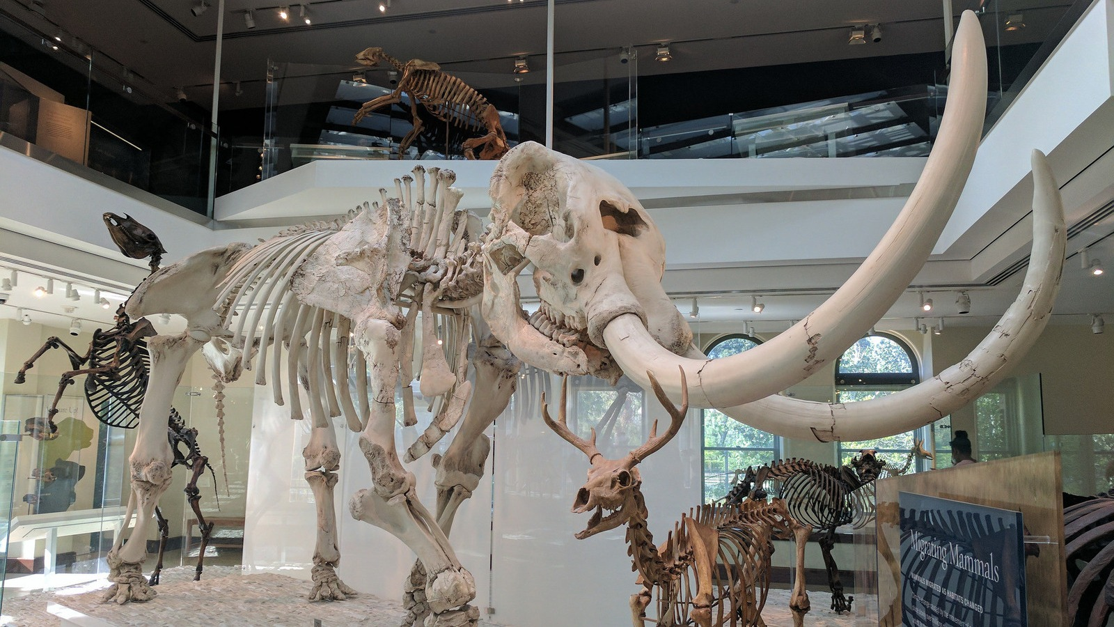 Mastodons (this one on display at the Natural History Museum of Los Angeles) are just a small part of the story of how humans first migrated to the Americas 15,000 years ago — or longer.
