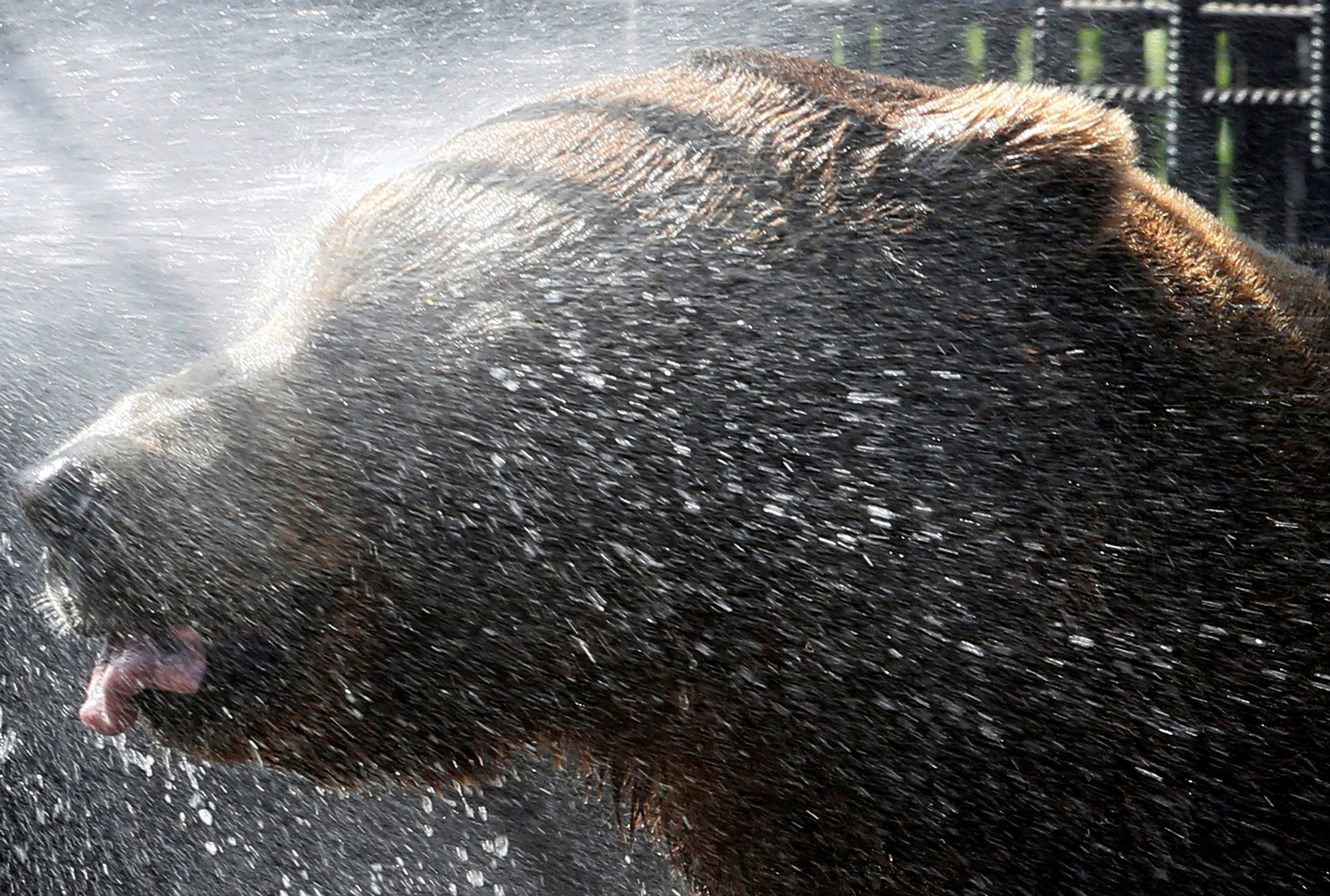 Buyan, a Siberian brown bear, is sprayed with water to cool down at the Royev Ruchey Zoo in the suburb of Krasnoyarsk, Russia.