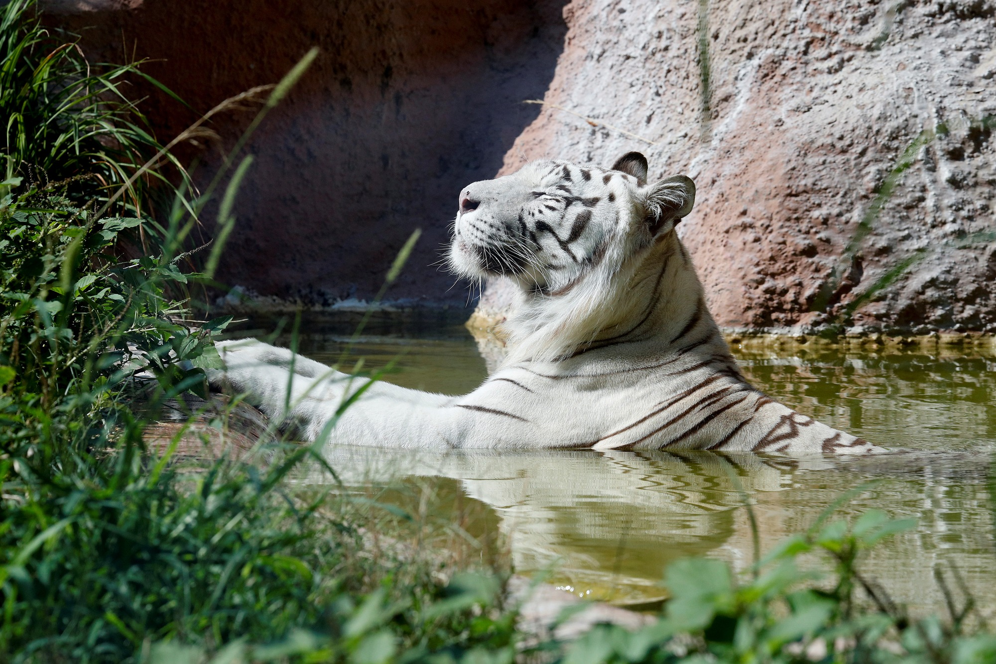 A white tiger cools off in the water at the Biopark zoo in Rome, Italy.