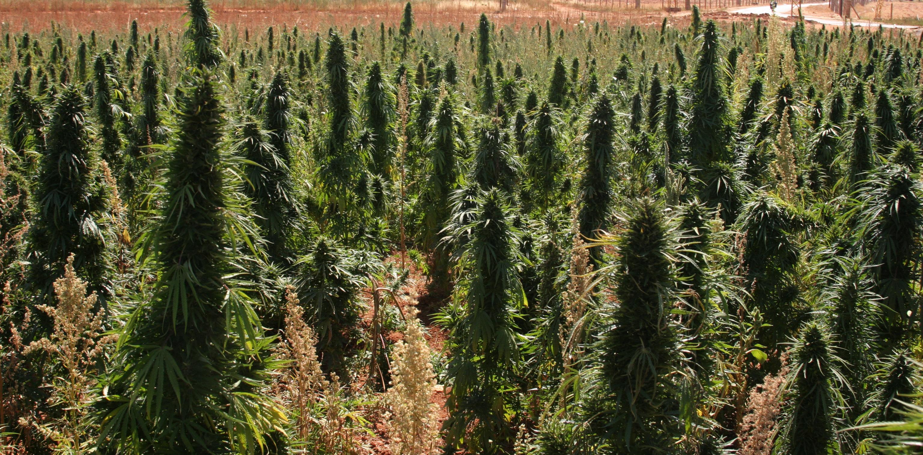 Конопля на каком месте блины из марихуаны