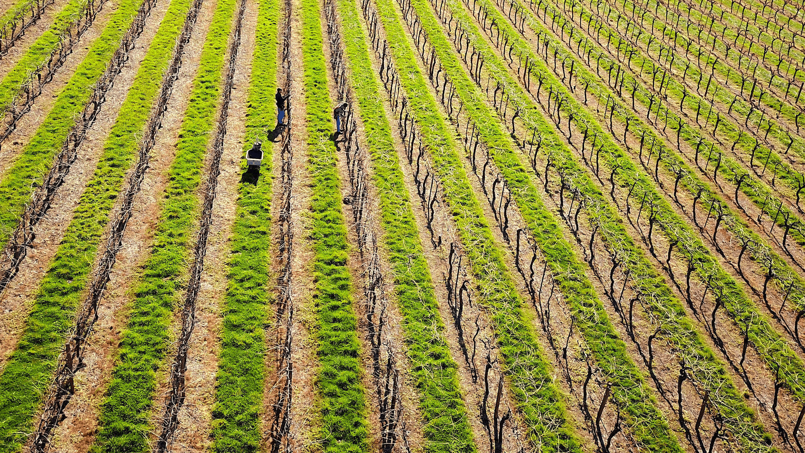a grape field in australia