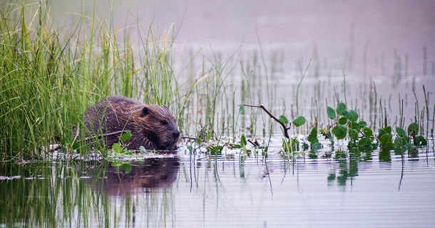 'Beaver Believers' say dam-building creatures can make the American West lush again