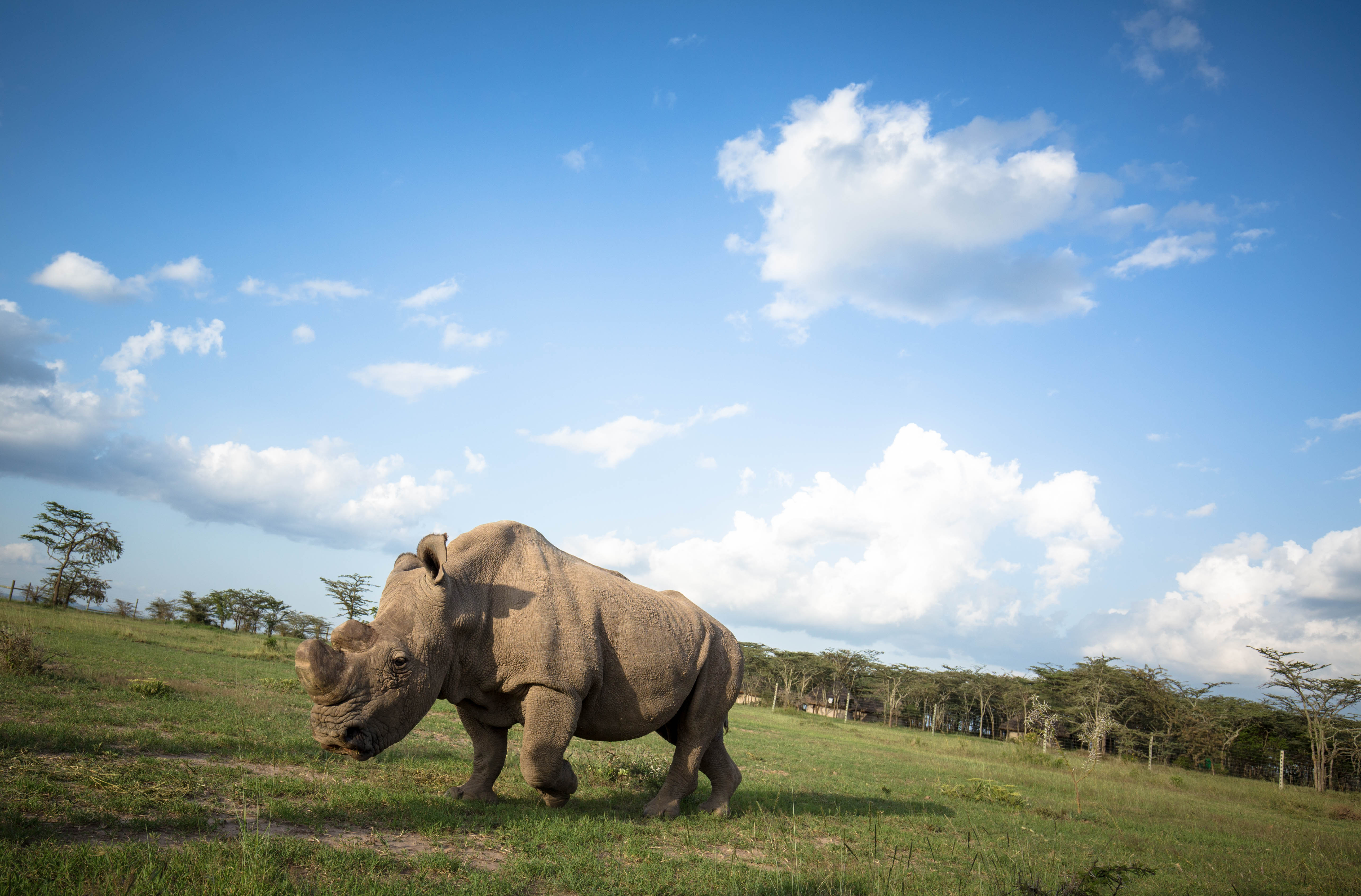 Rhinoceros on field with gentle sunlight behind him