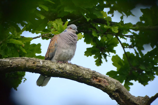 Turtledove on a branch.