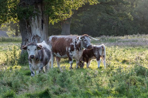 Longhorn cattle on Knepp Estate