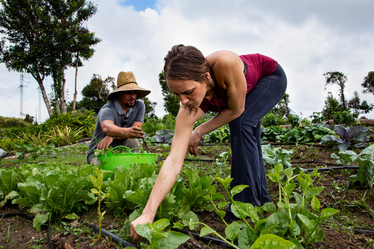 Richelle Van Dusen and her partner, Dallas Tate, are shown bent over working in a field of green vegetables.
