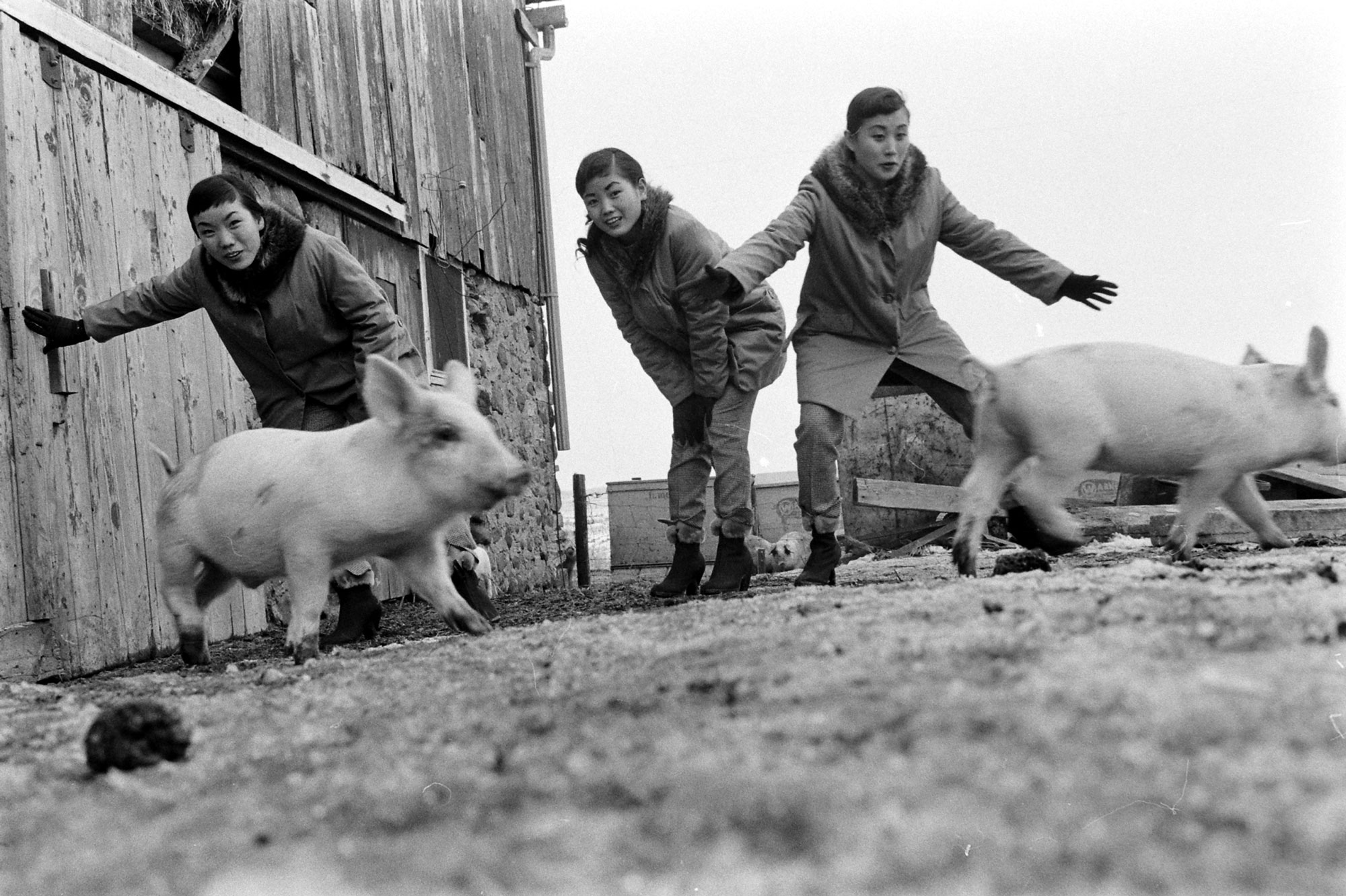 Three girls chase pigs on a farm