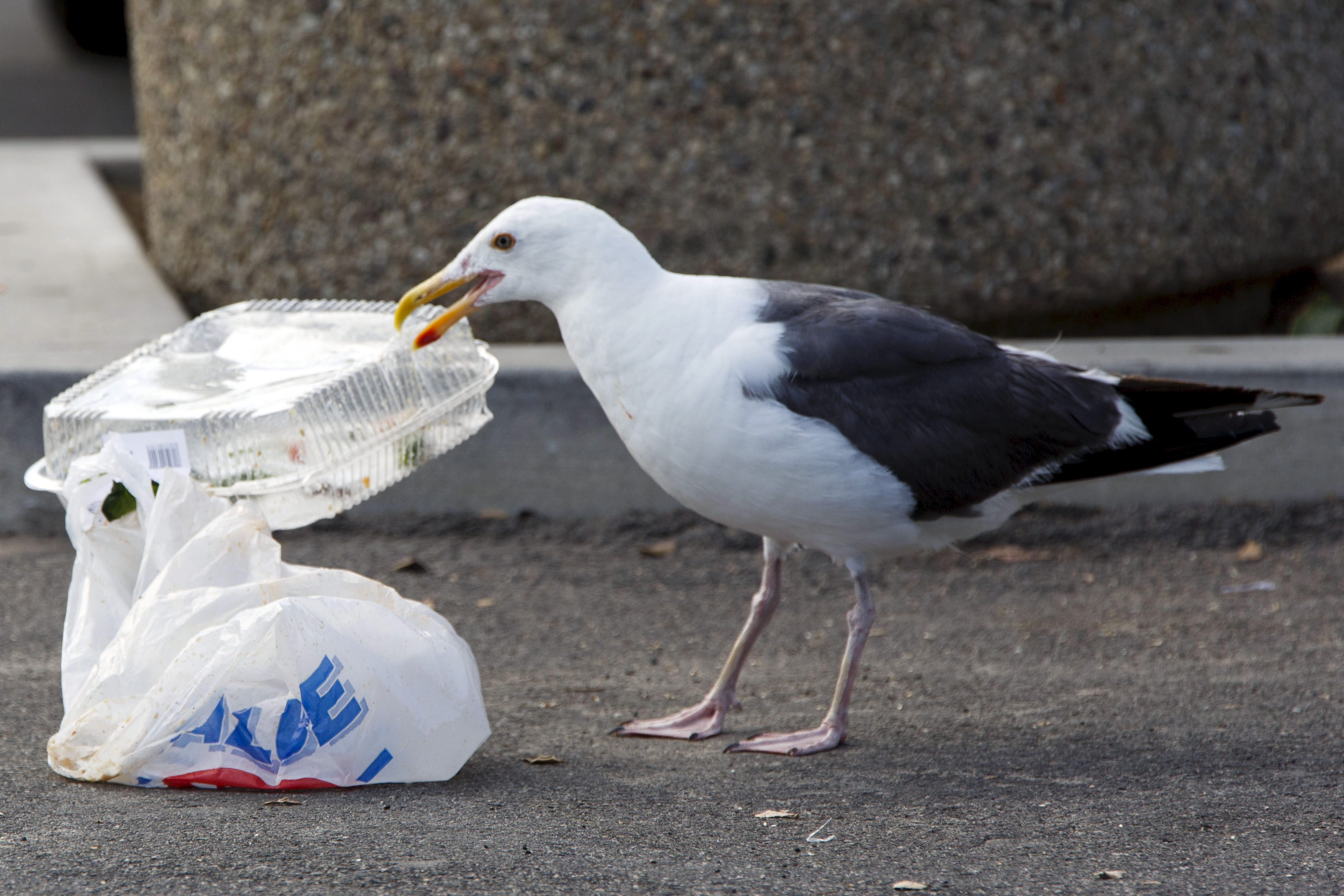 A seagull picks up a plastic container next to a plastic bag.