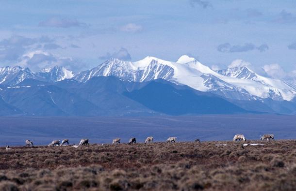 ANWR porcupine caribou