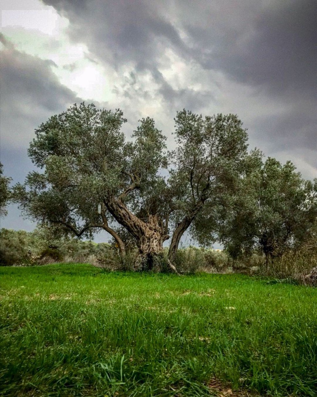 Image of a huge, ancient green olive tree under a blue sky with white clouds