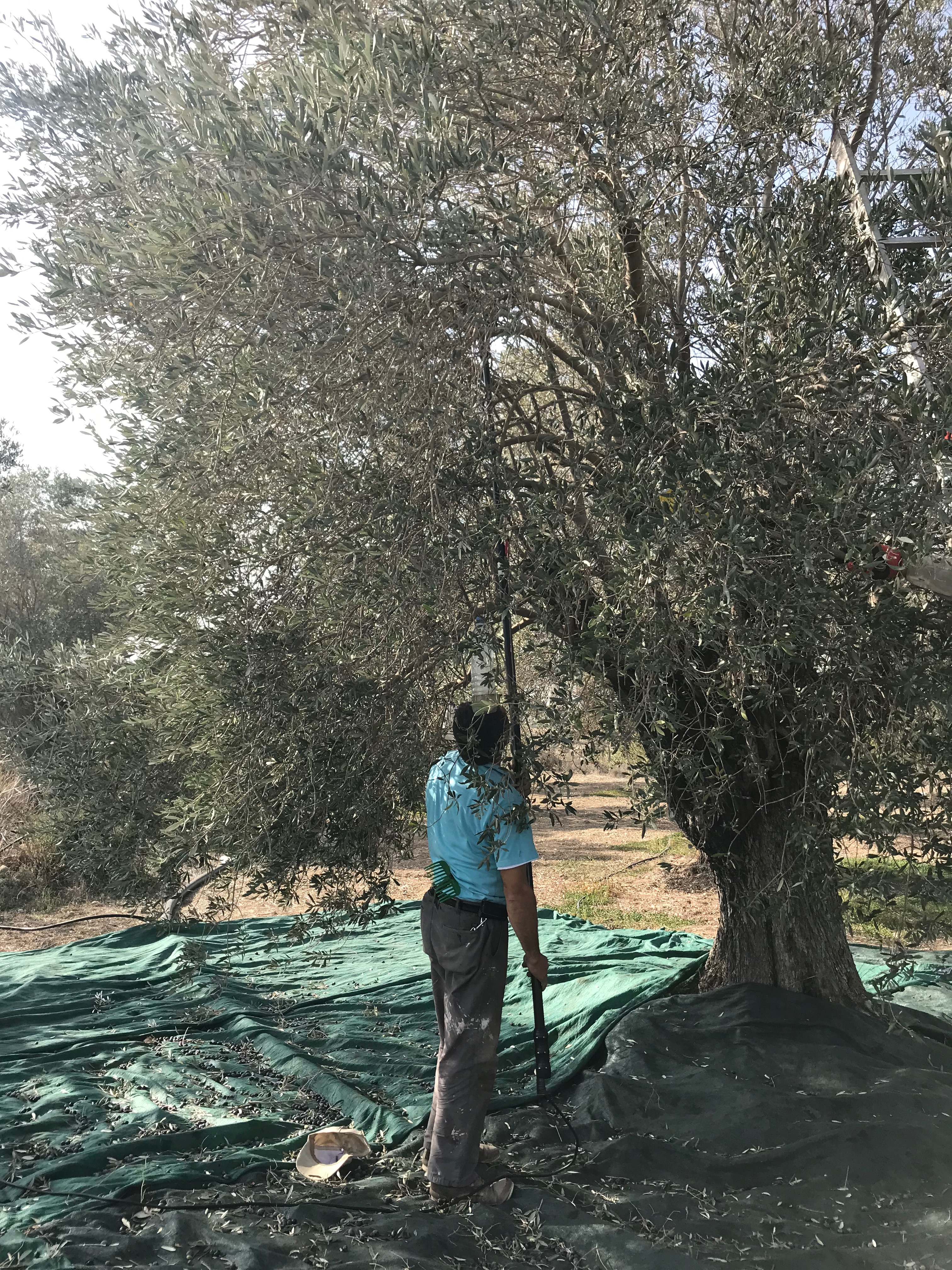 A man picks olives from a tree.