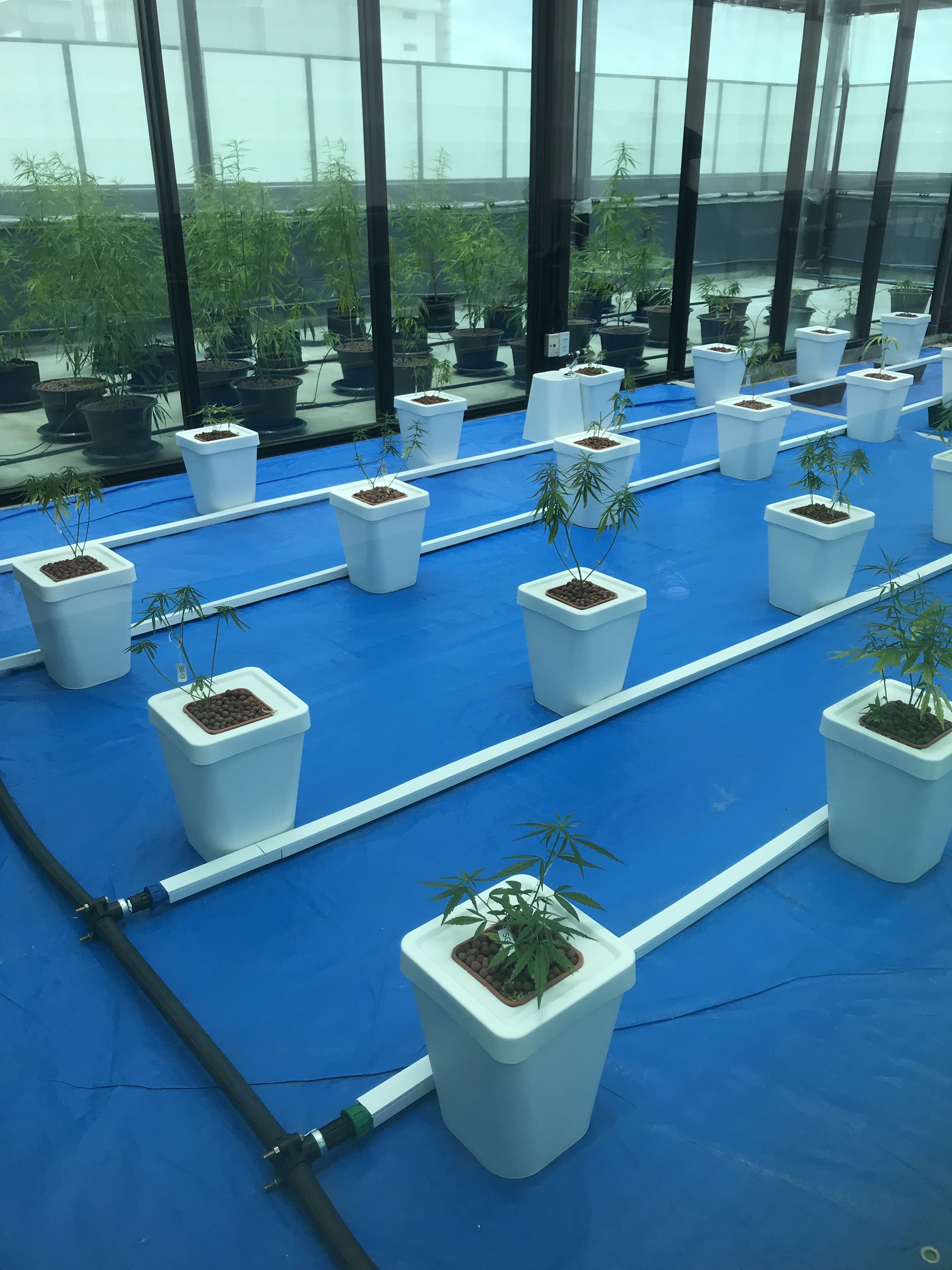 The first crop of legal cannabis plants grown by Thai professors at Rangsit University in a legal lab north of Bangkok.