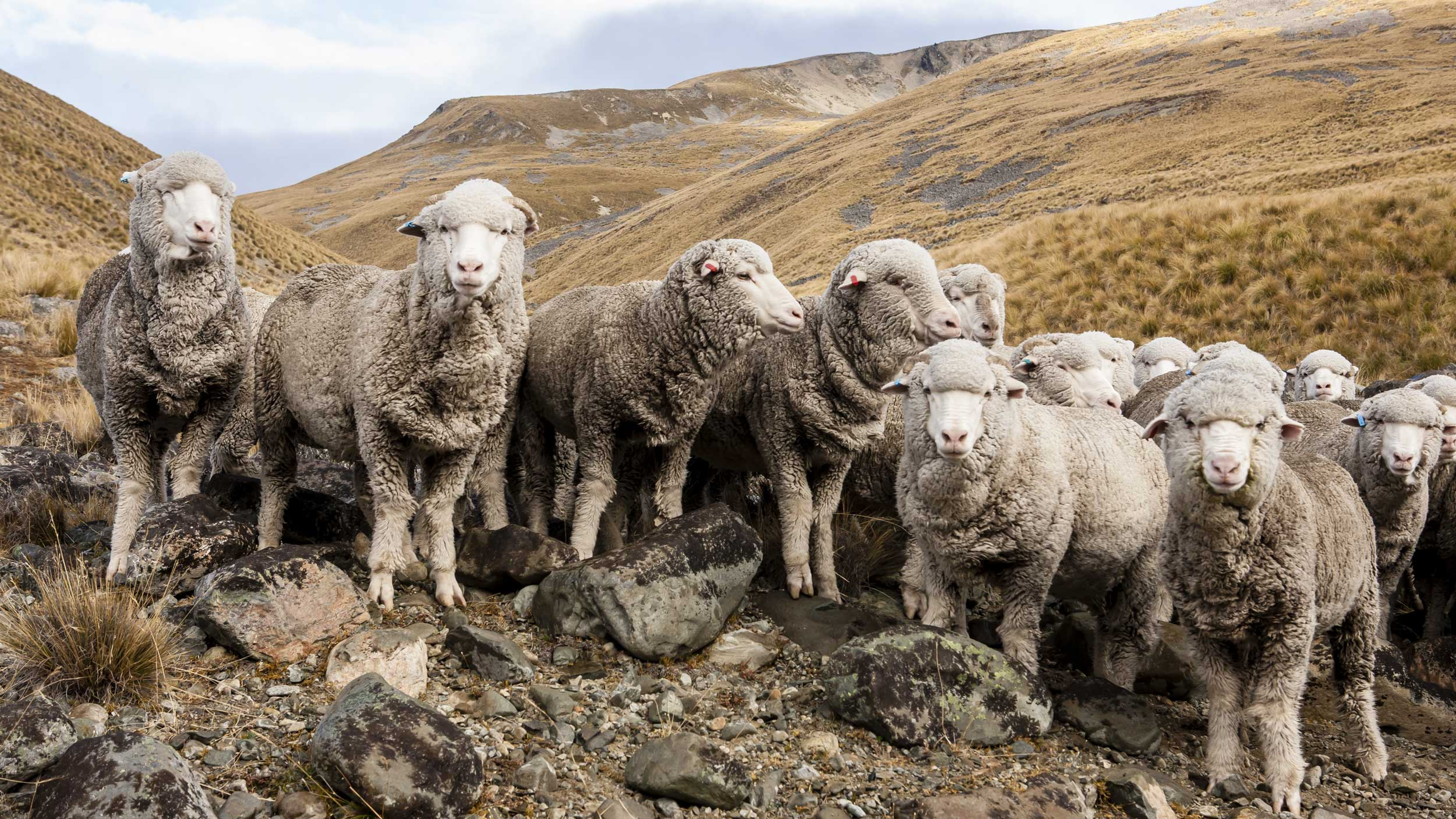 Sheep stand on rocks in front of mountains looking at the camera