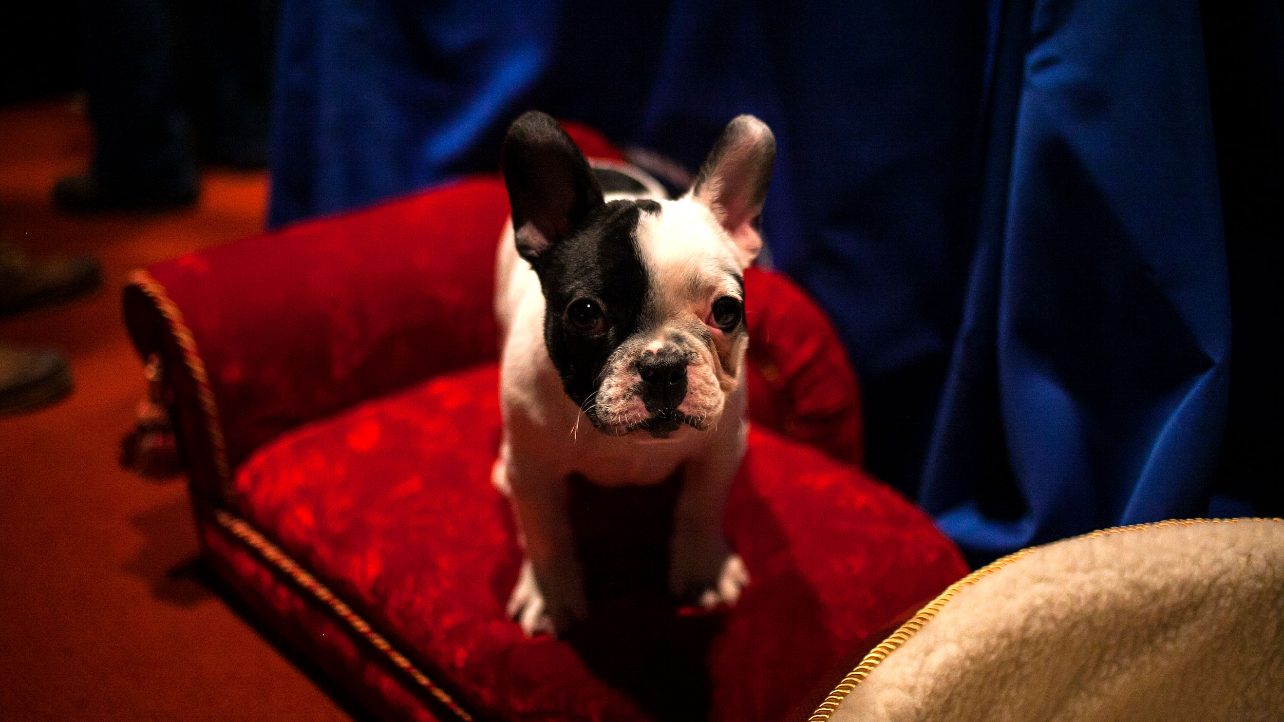 A French bulldog puppy looks at the camera