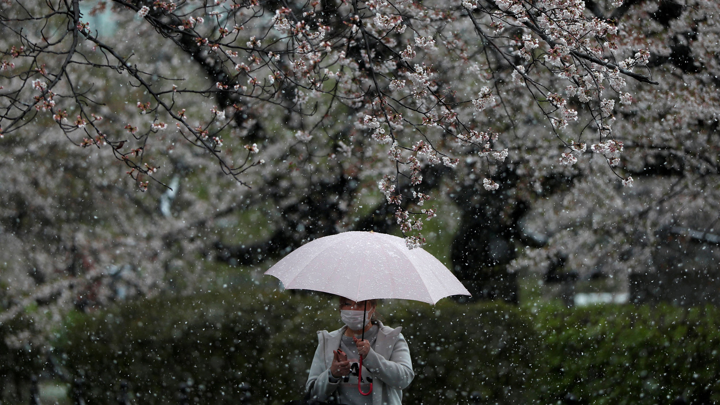 A woman is shown walking with through a area with flowering trees while holding an umbrella.