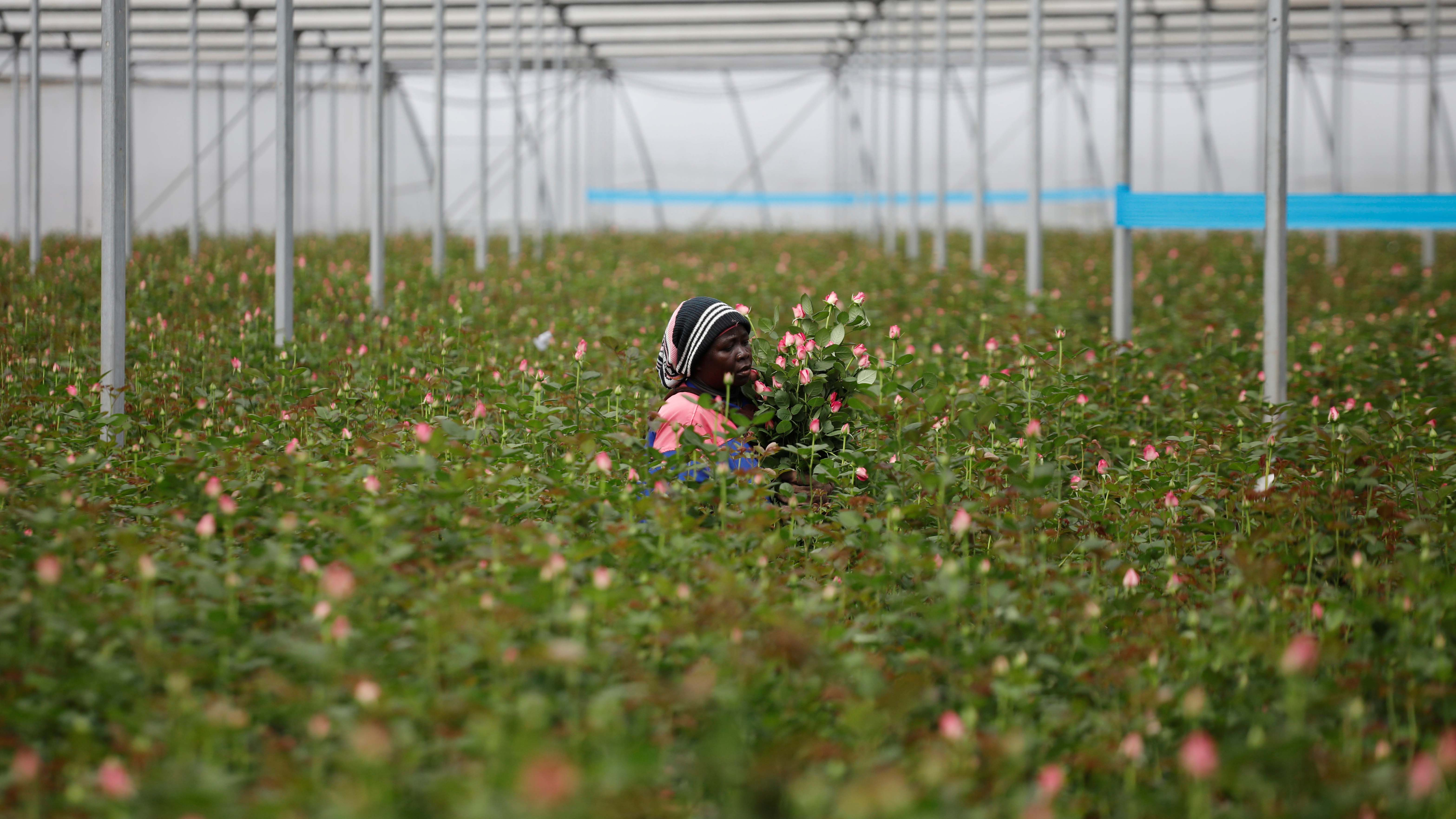 A worker picks roses that will be thrown way because they cannot be shipped to Europe due to the spread of the coronavirus disease (COVID-19) at the Maridadi flower farm in Naivasha, Kenya, March 19, 2020.