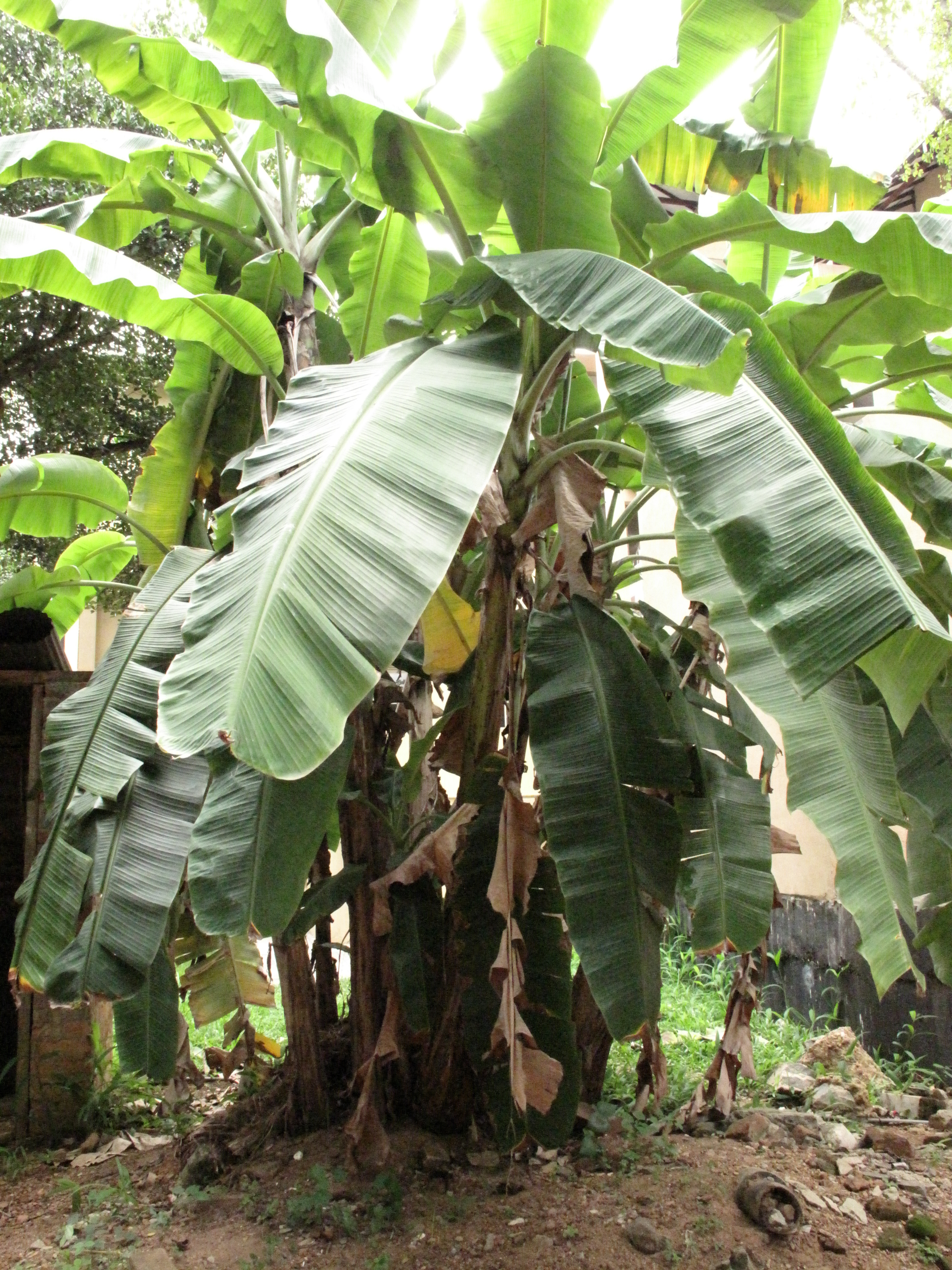 how plantain trees could become an energy source public radio