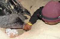 Ghana researcher looks at sea turtle eggs