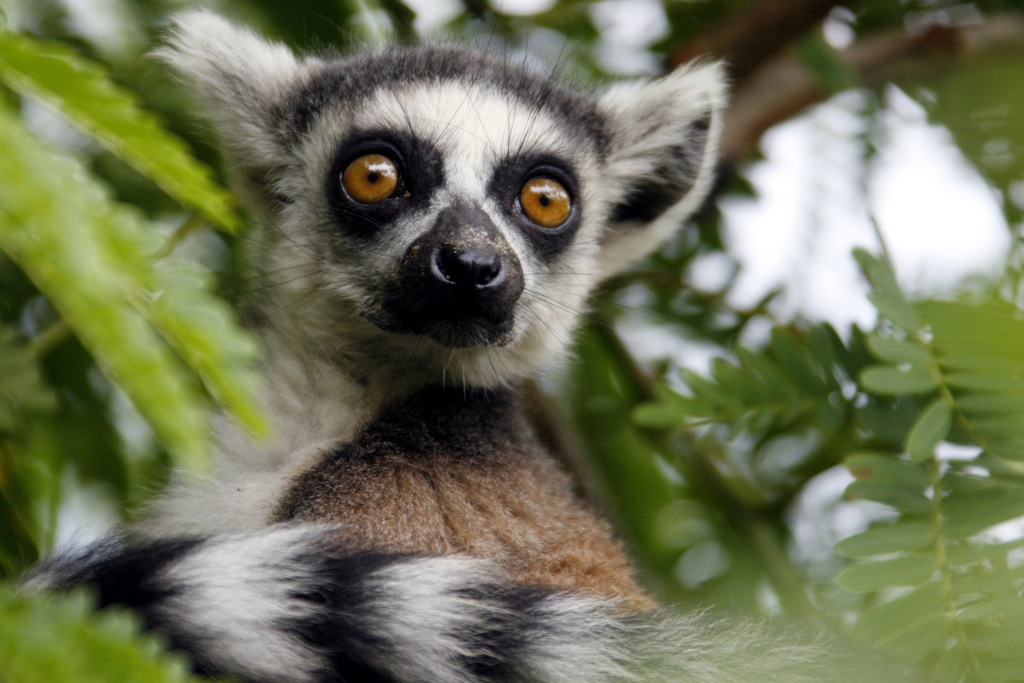 Madagascar's endangered lemurs are being illegally hunted for their meat.