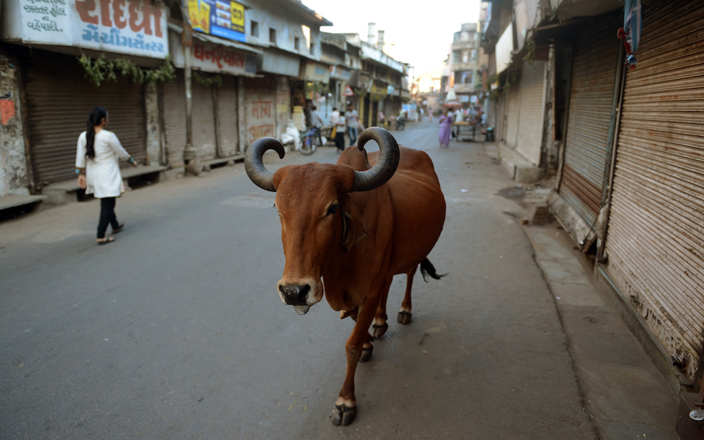 Should India get its cows off the streets?   Public Radio ...