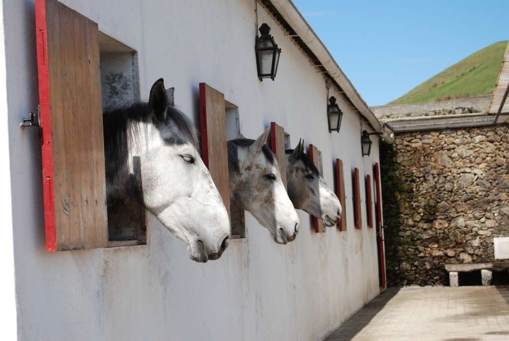 Horses in a barn in the Azores