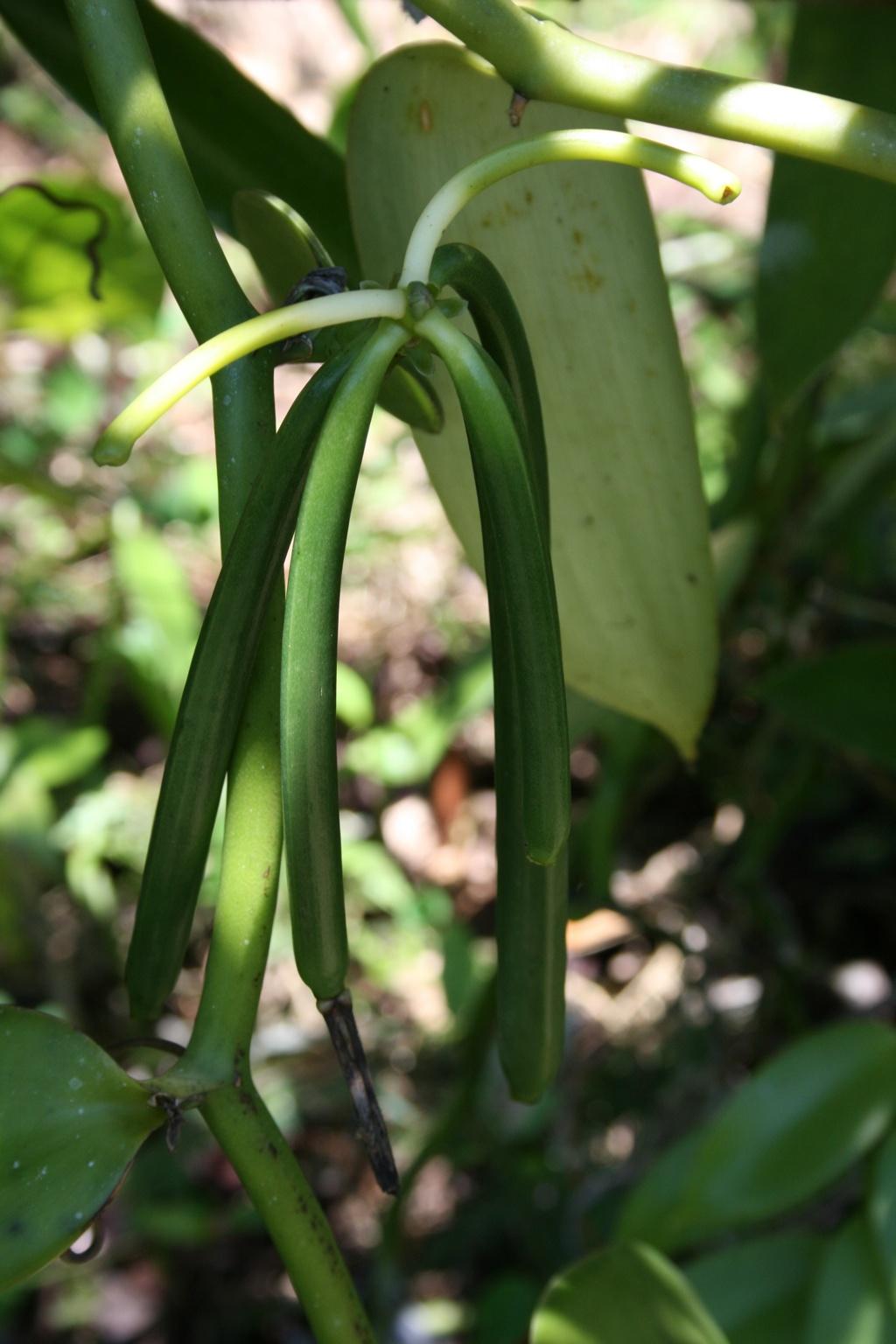 close up of a vanilla vine