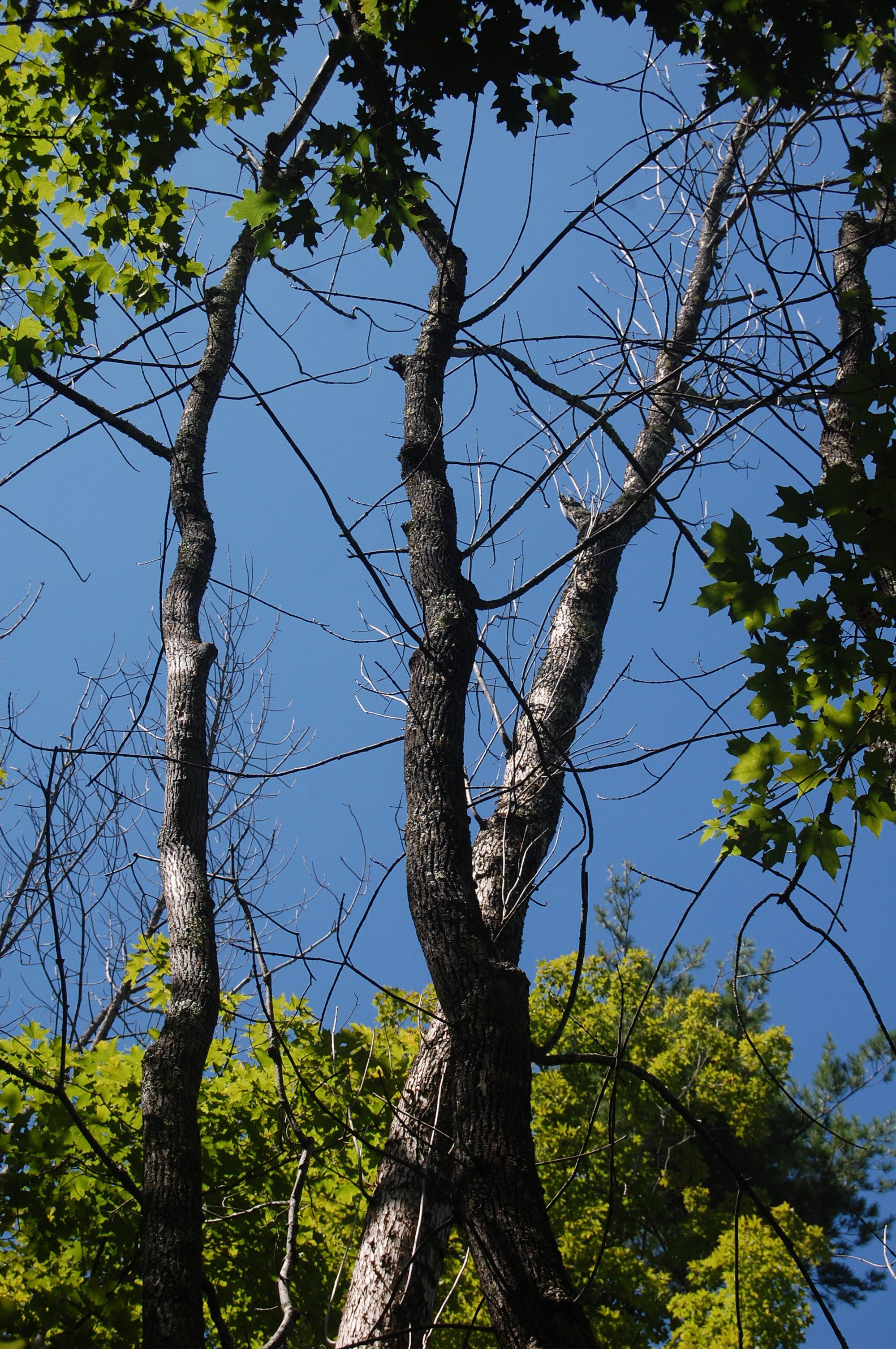 the invasive emerald ash borer has killed millions of