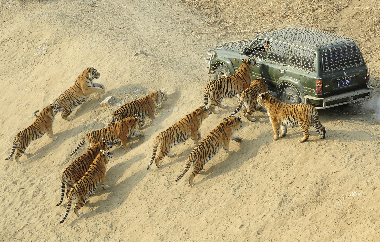 картинки пустыня и тигр саратовской