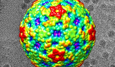 This color-coded image shows the surface view of enterovirus D68. Red regions are the highest peaks, and the lowest portions are blue. In the black-and-white background are actual electron microscopy images of the EV-D68 virus.