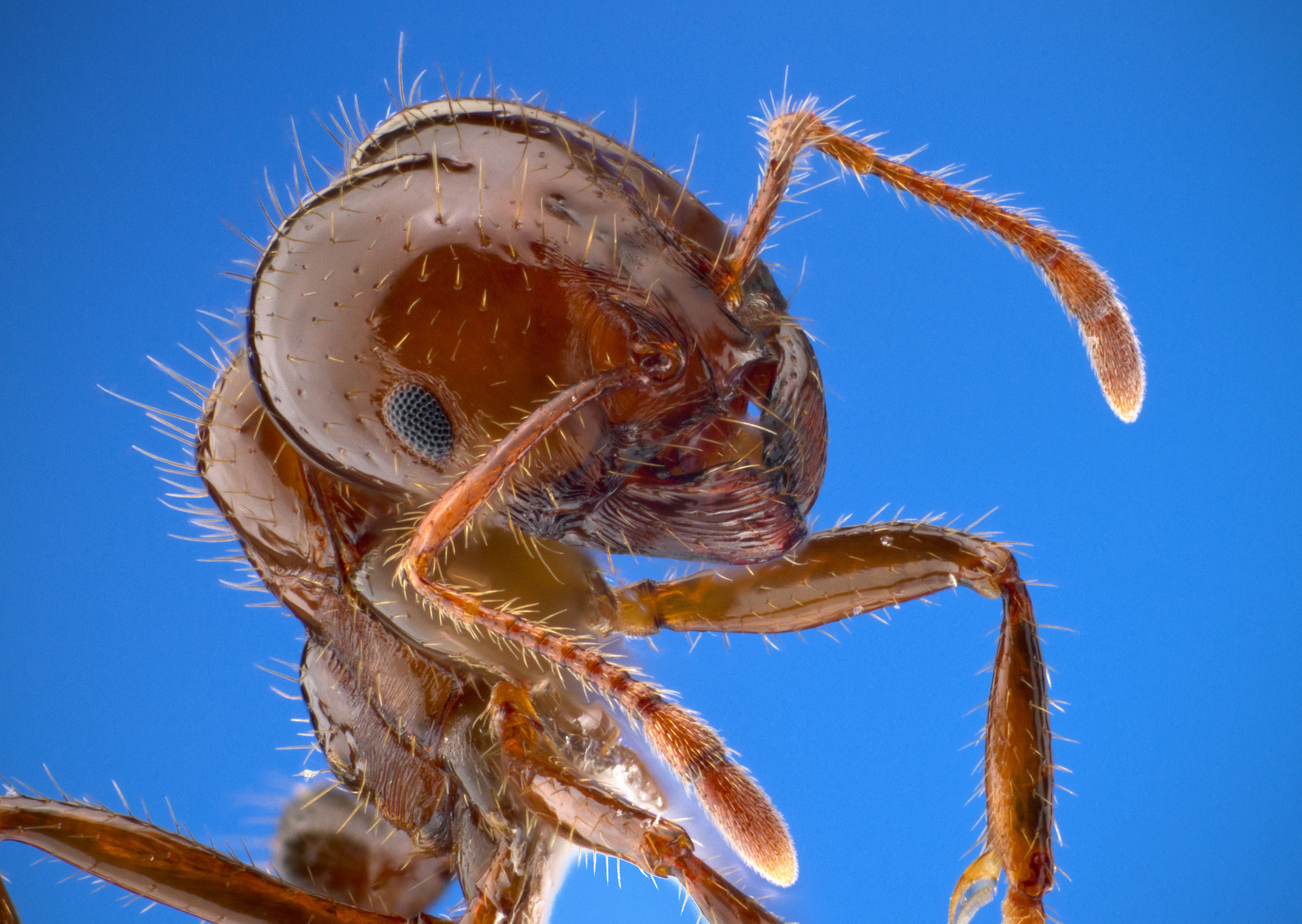 A fire ant.