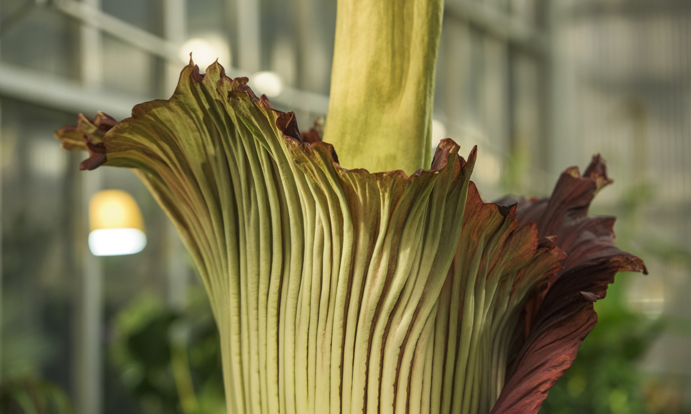 Corpse flower in bloom