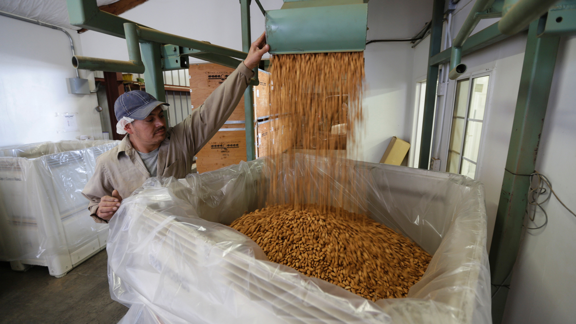 Carmelo Morillo fills a large, plastic-lined shipping container with almonds.