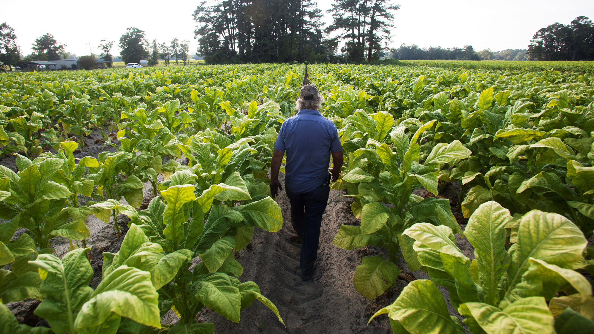 A farmer walks away from the camera through a field of rich green tobacco plants.