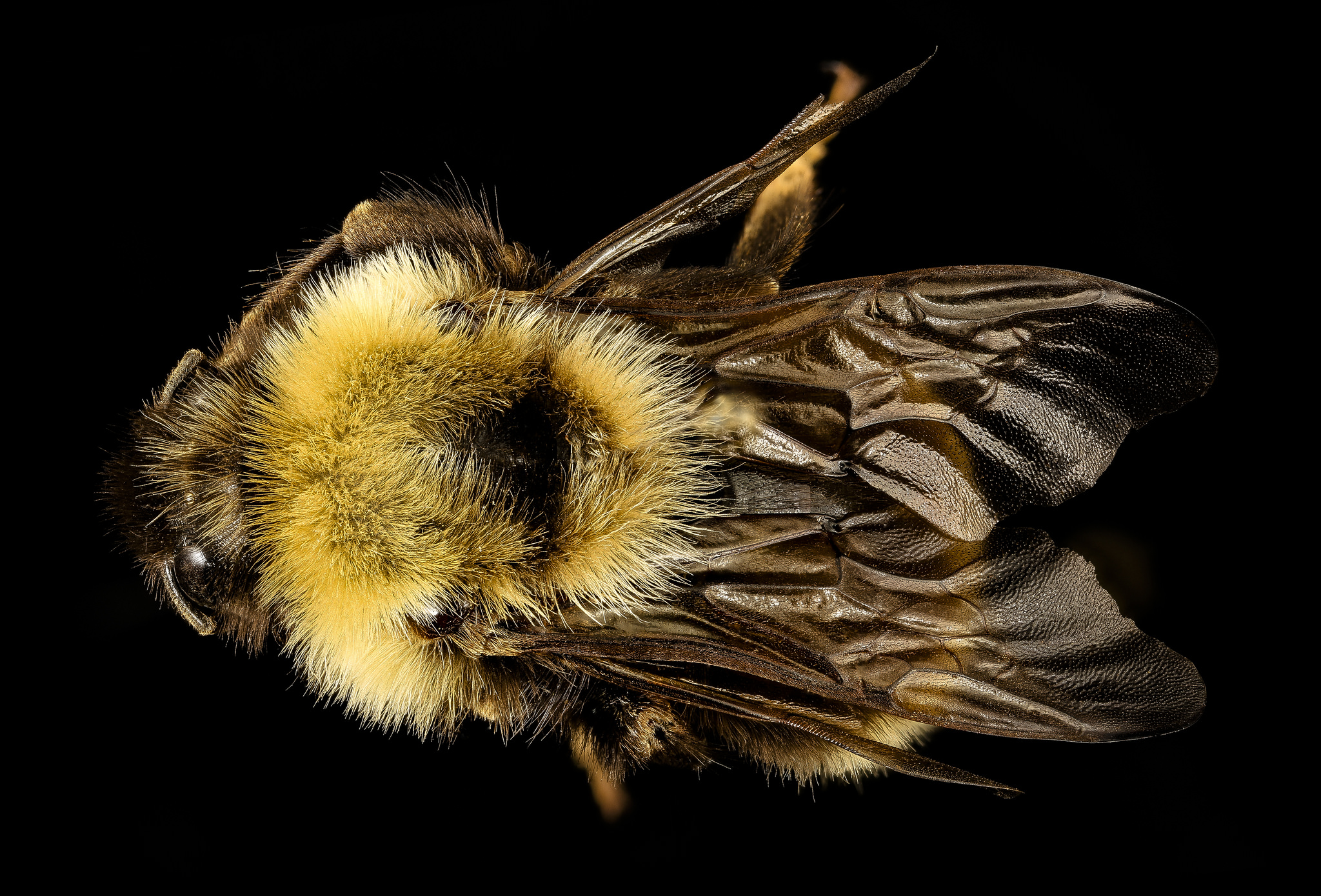 Bombus affinis, the rusty patched bumblebee.