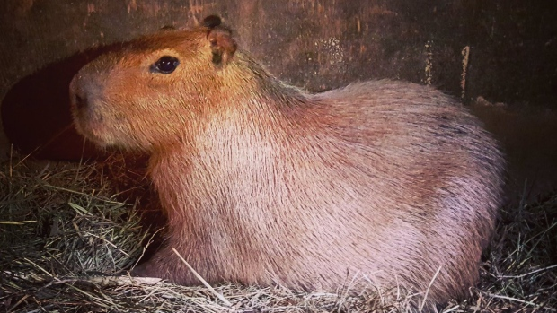 Case closed on Toronto's High Park capybara escape.