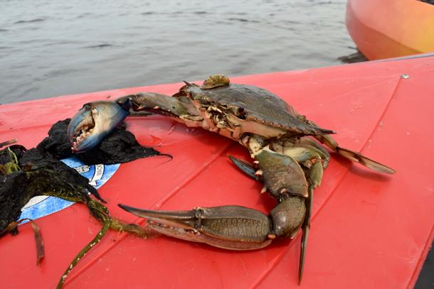 Blue Crab Nantucket