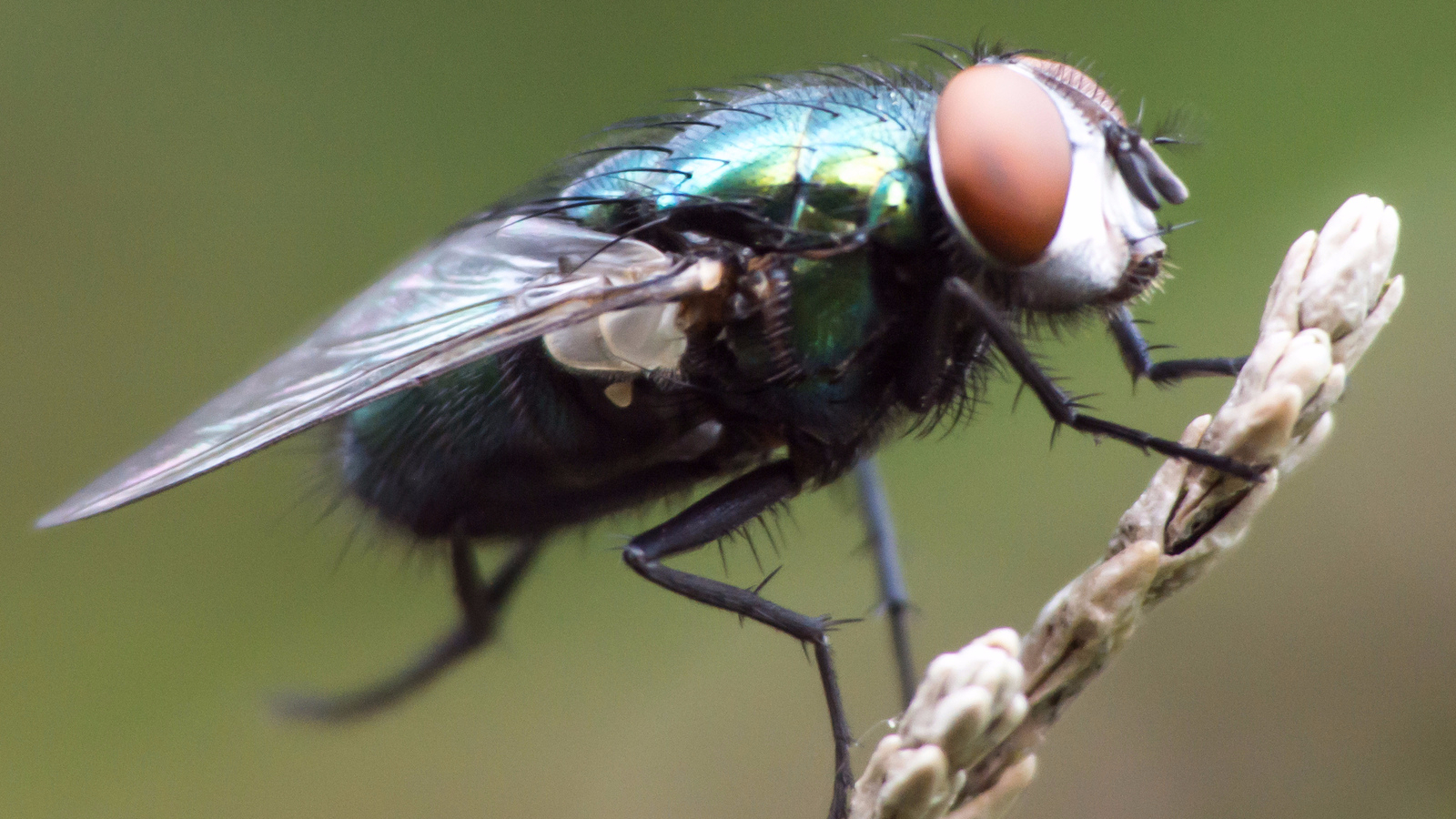 The common housefly makes up just one of 150 families of flies.