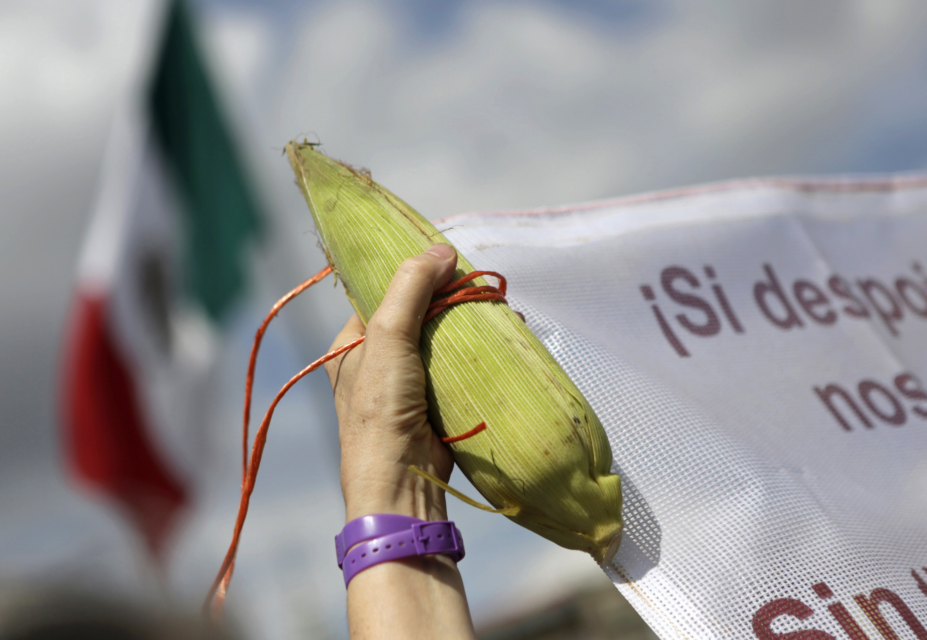 "A Mexican demonstrator holds a corn cob on ""Día Nacional del Maíz"" (National Corn Day). Mexicans have an expression: ""sin maíz, no hay país"" (without corn, there is no country). Mexico has been increasingly reliant on US imports since NAFTA took effect."