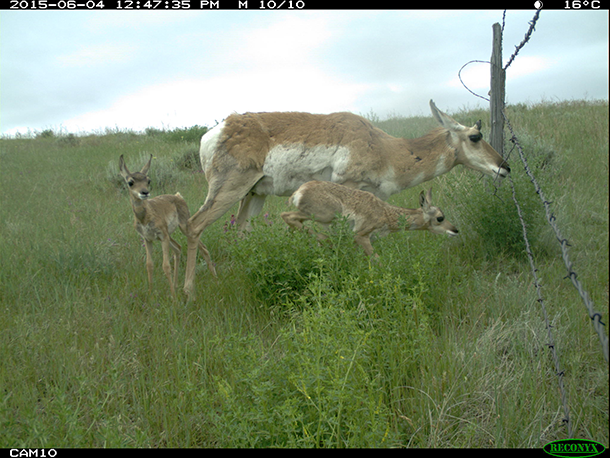 Pronghorn barbed wire