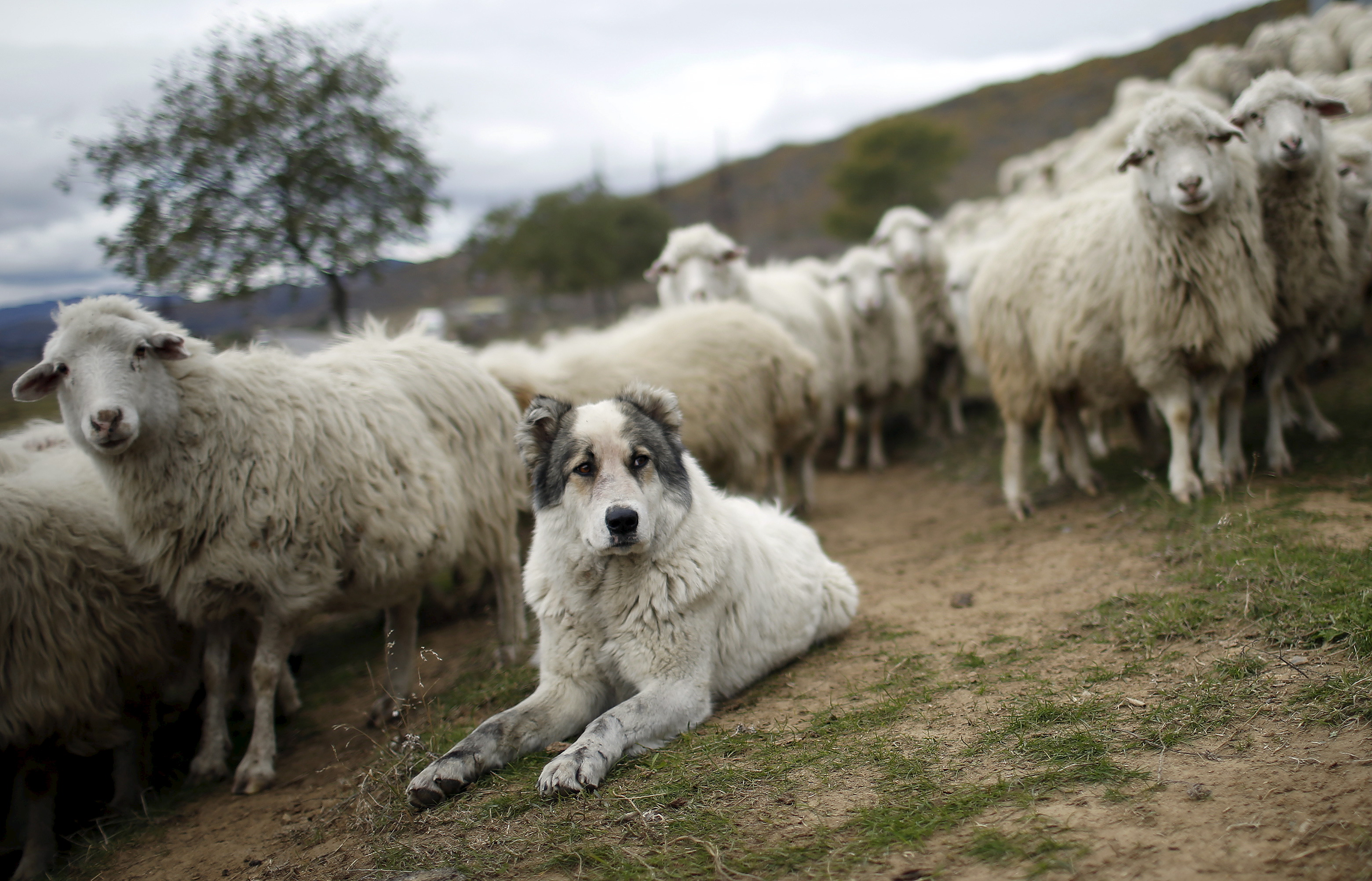 A shepherd dog tending a herd of sheep outside Tbilisi, Georgia.
