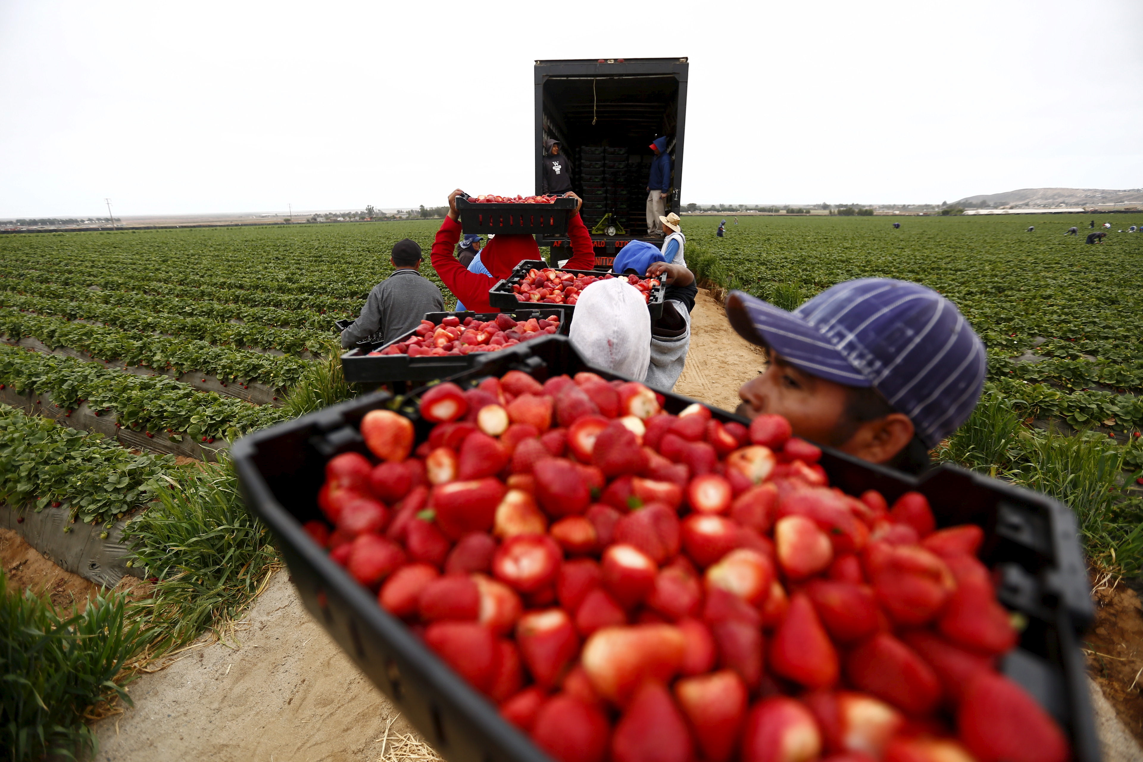A man holds up a box of berries in a field, waiting in a queue to load them onto a truck.