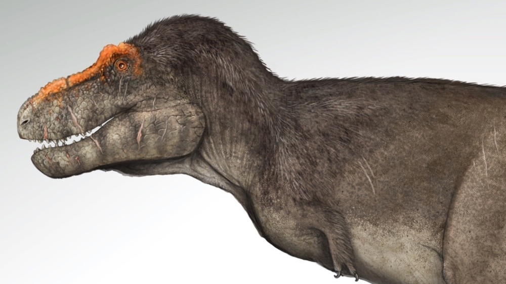 Contrary to classic depictions of a tyrannosaurus rex, paleoartist Gabriel Ugueto says that the massive carnivores likely were covered in small feathers on the top of their bodies.